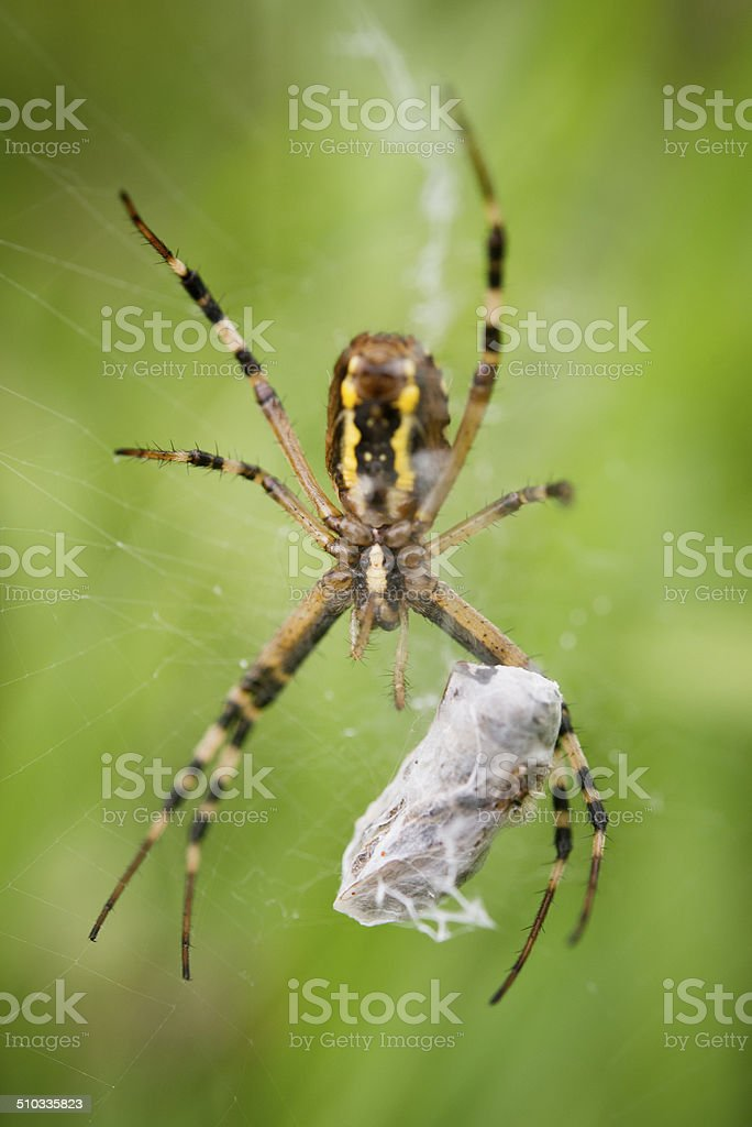 Tiger or Wasp spider delivering a food package stock photo