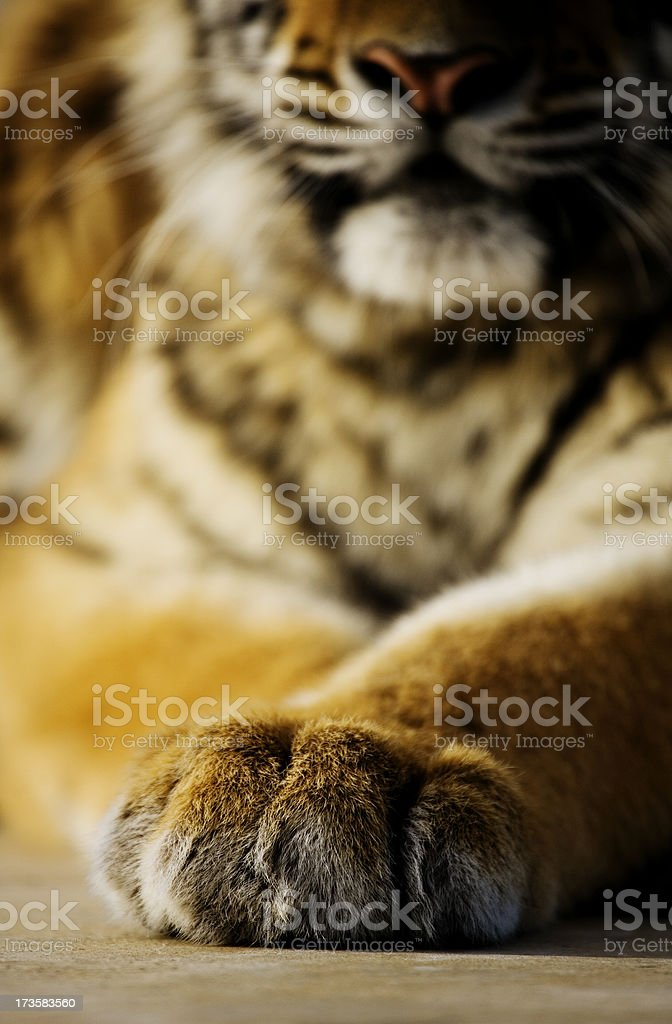 Tiger Paw royalty-free stock photo
