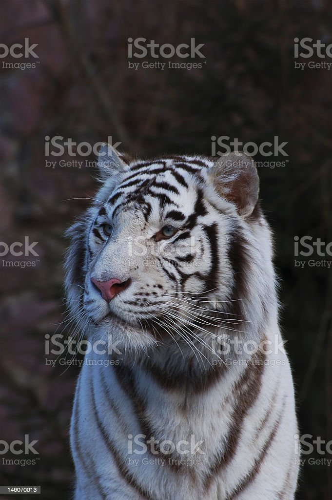 Tiger. royalty-free stock photo