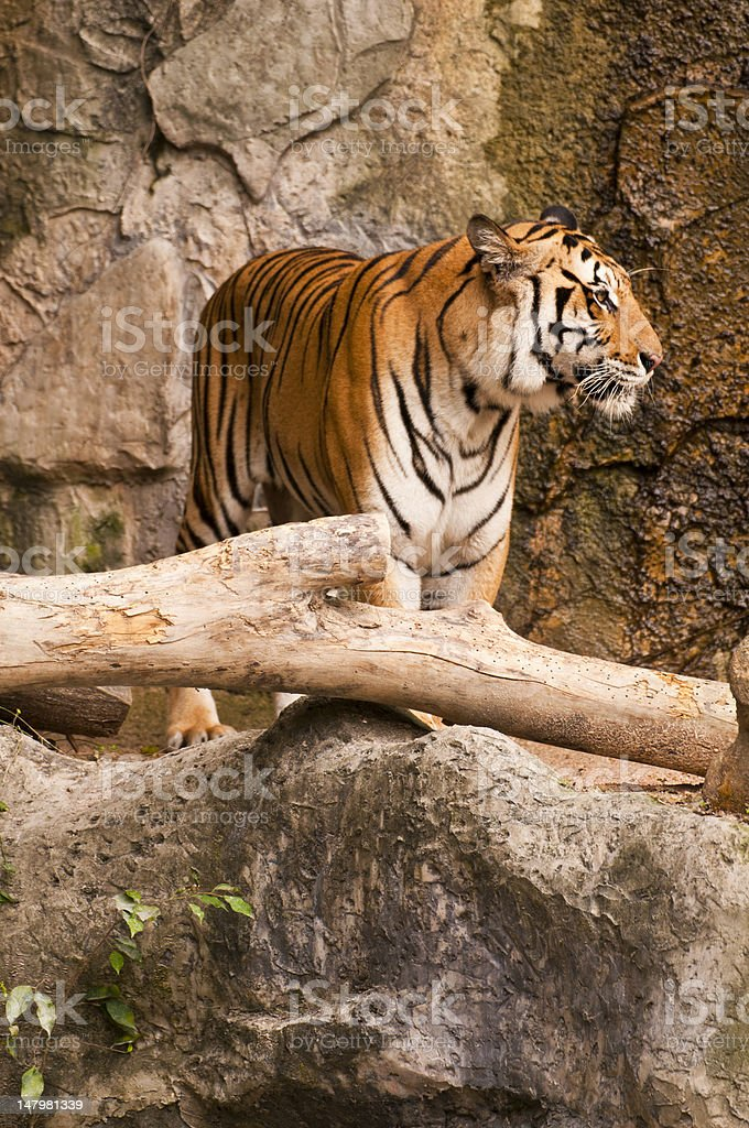 Tiger zbiór zdjęć royalty-free