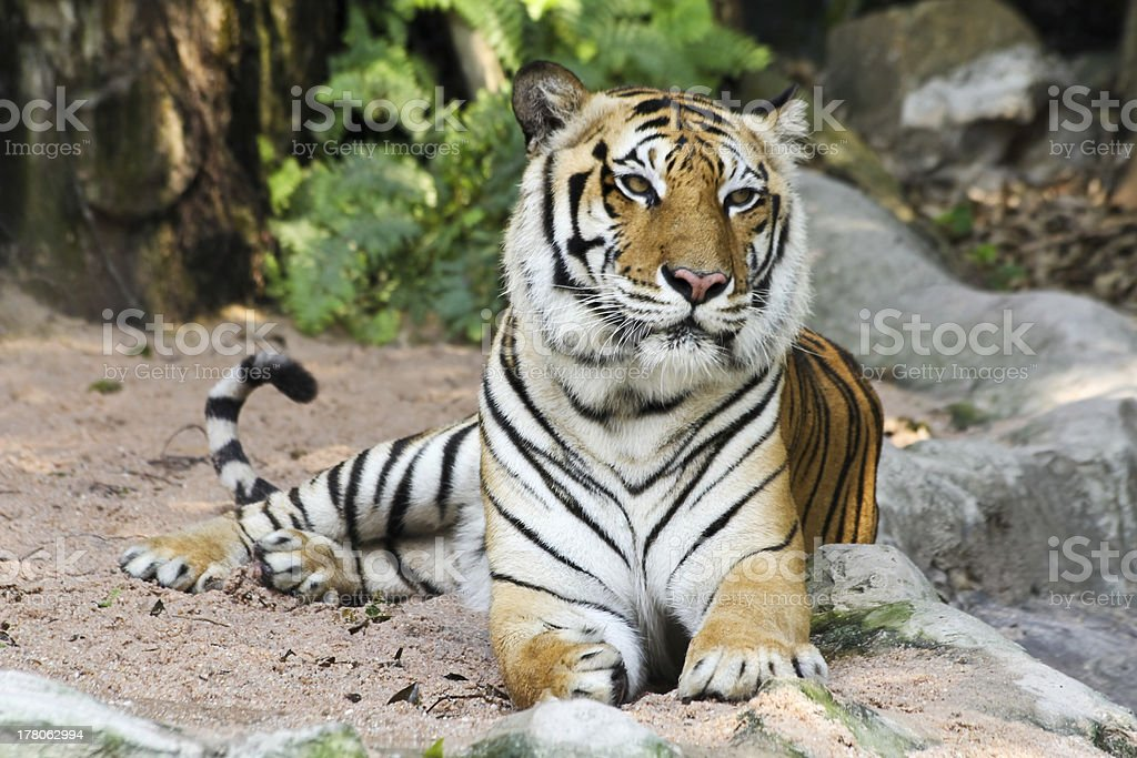 Tiger royalty-free stock photo