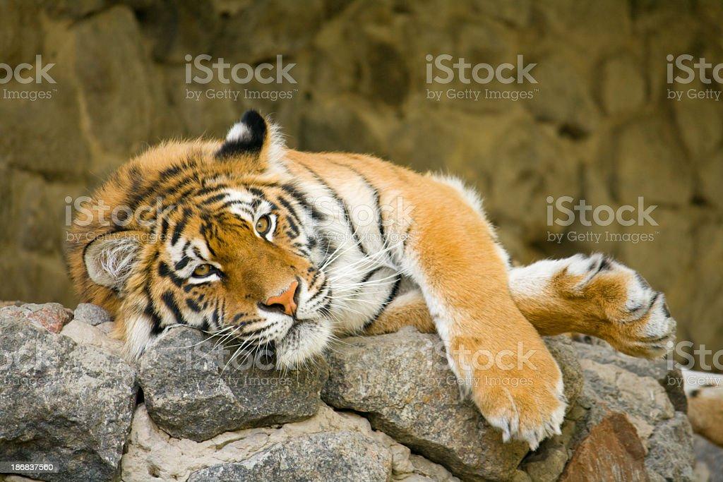 Tiger. royalty-free stock photo
