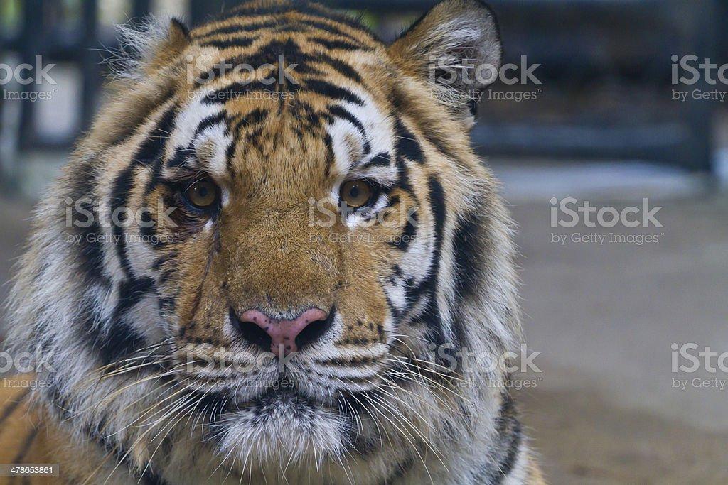 Tiger. stock photo