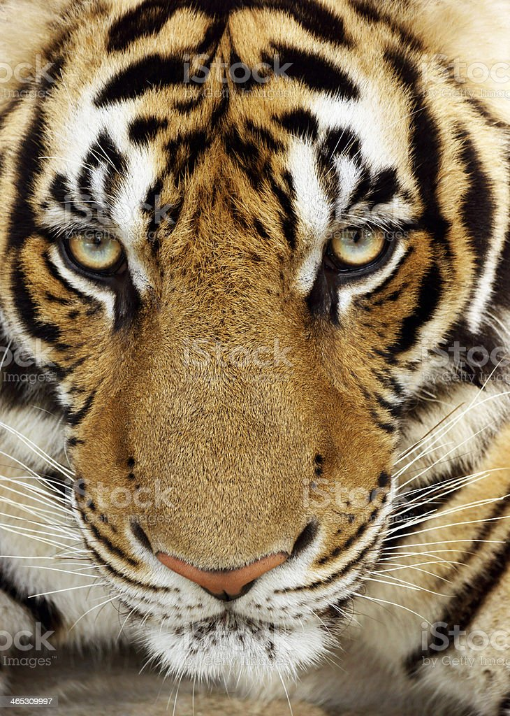 Tiger Portrait Close-Up stock photo