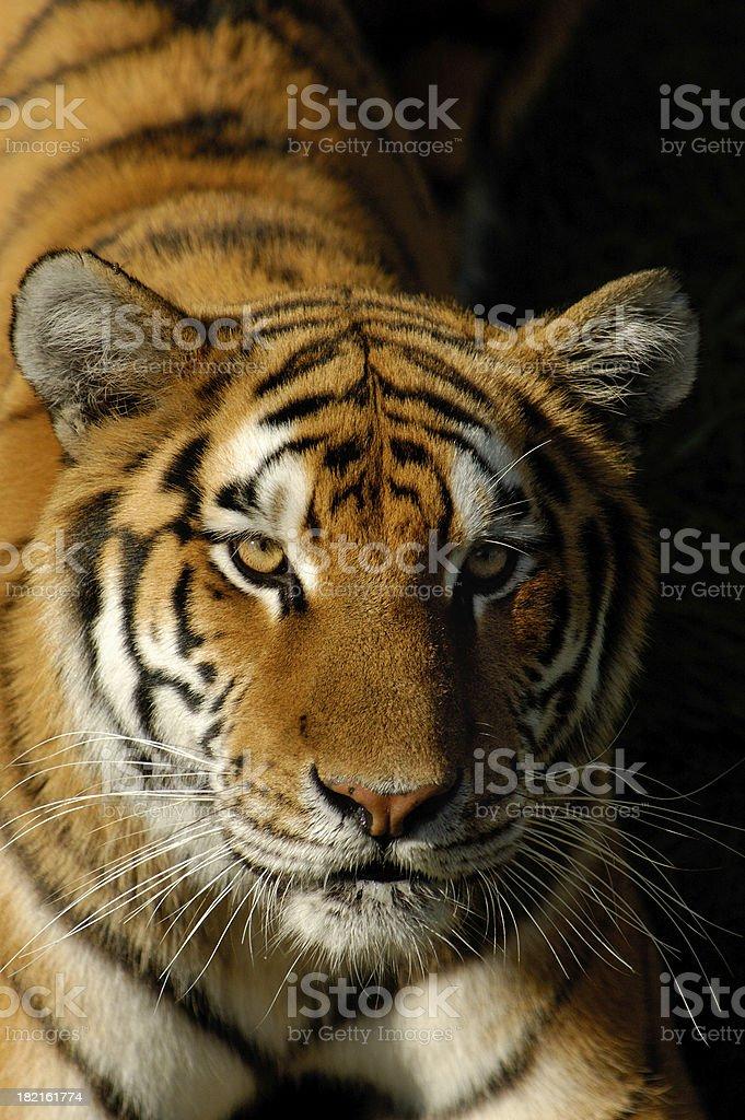 Tiger portrait royalty-free stock photo