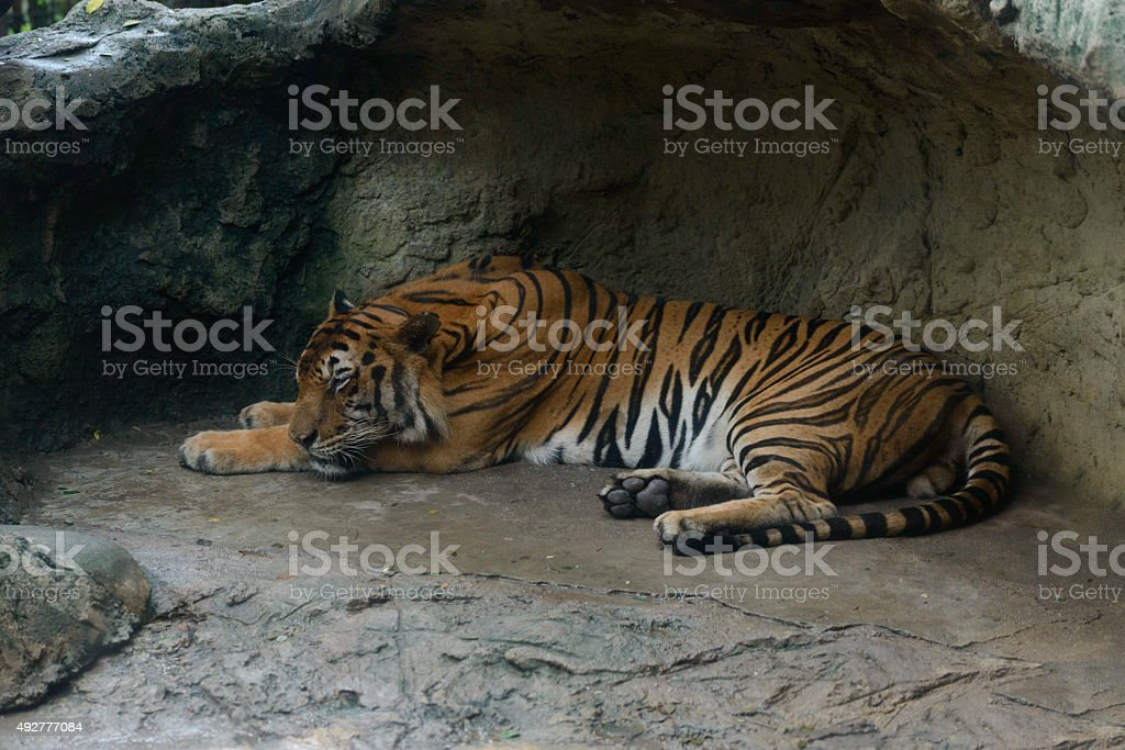 Tiger Portrait royalty-free stock photo