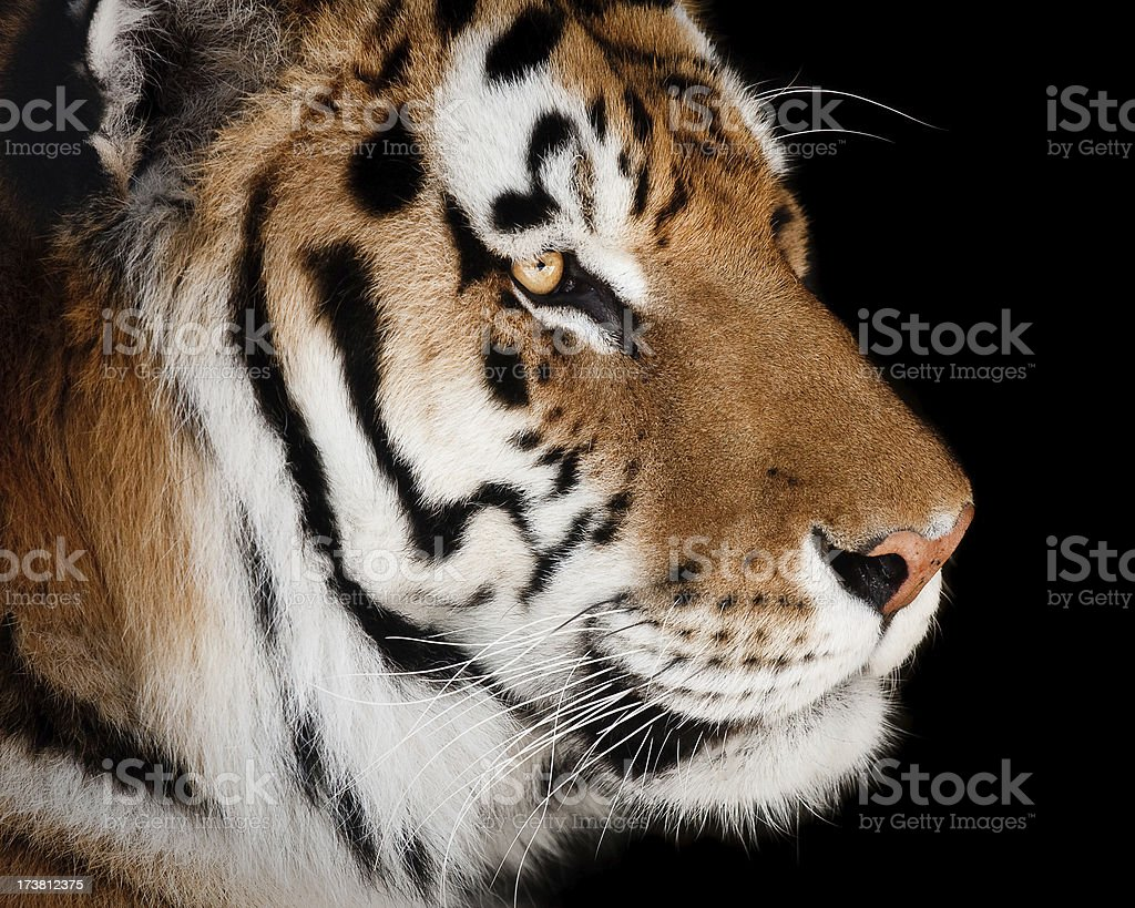 Tiger Profile royalty-free stock photo