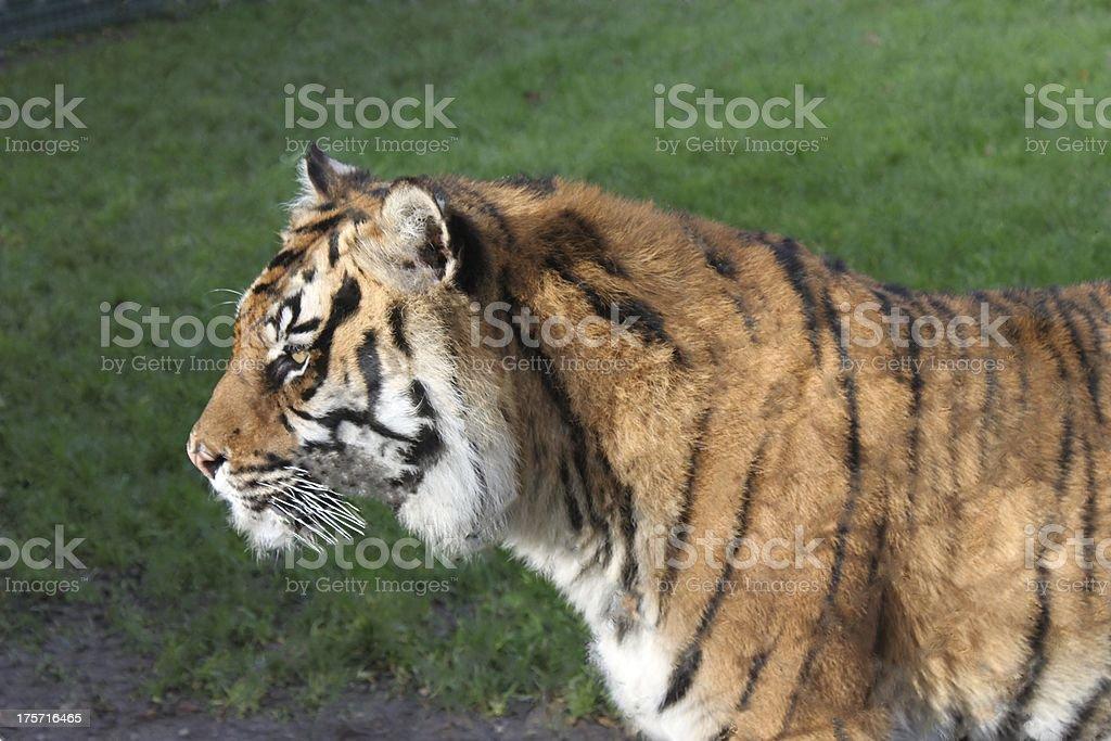 Tiger Profile royalty-free stock photo