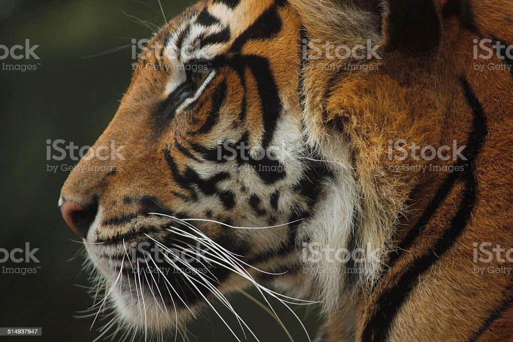 Tiger Profile stock photo