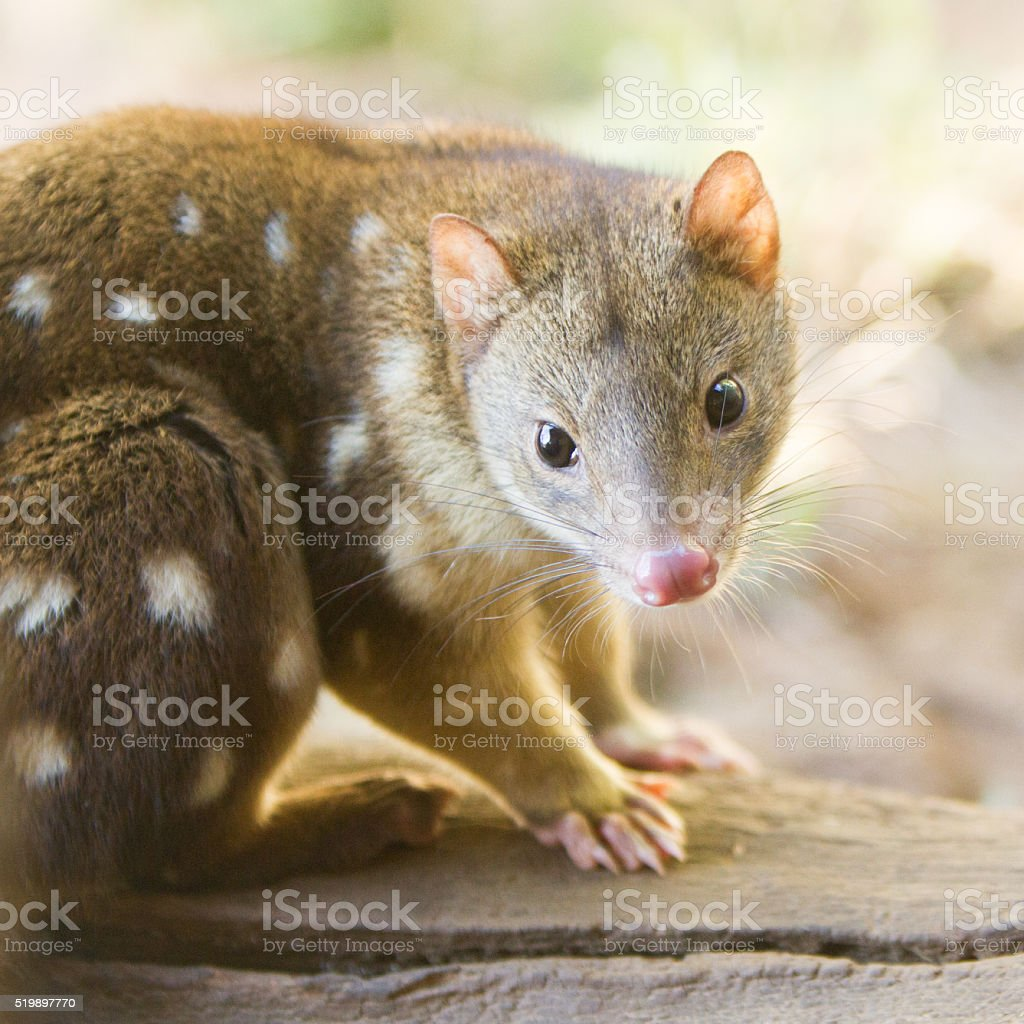 Tiger Quoll Close Up stock photo