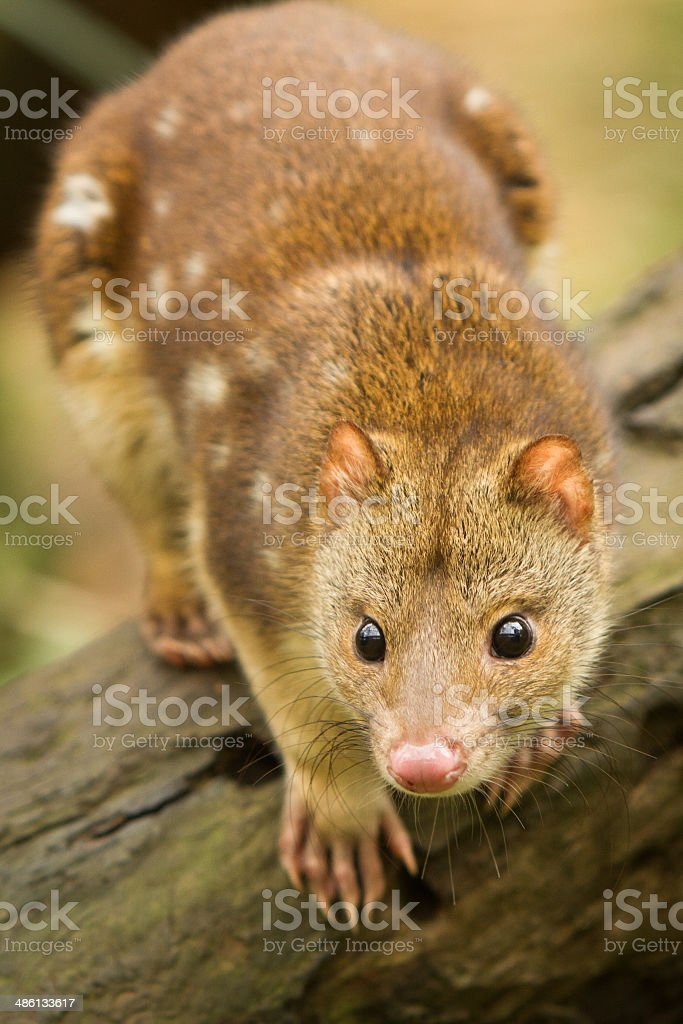 Tiger Quoll stock photo