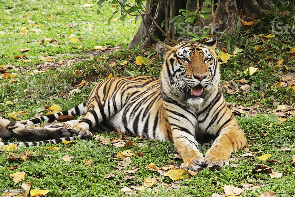 Tiger relaxing and laying down on a green grass stock photo