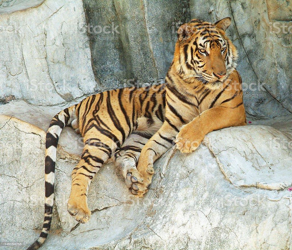 Tiger resting stock photo