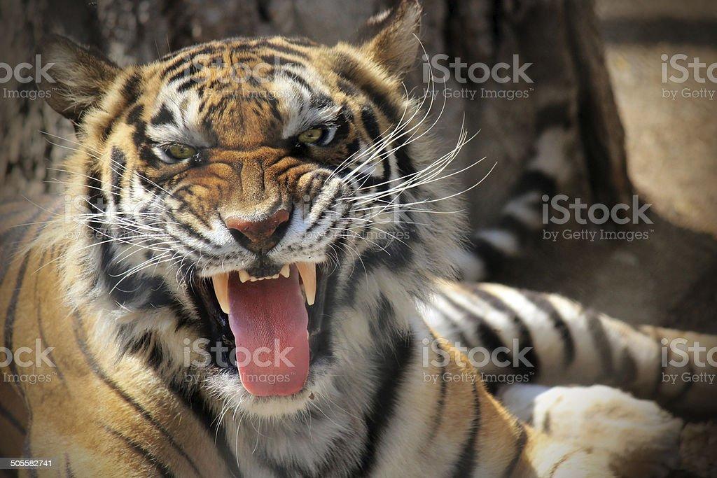 Tiger Roar stock photo