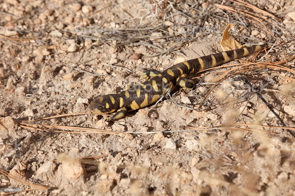 Tiger salamander walks over pine needles New Mexico stock photo