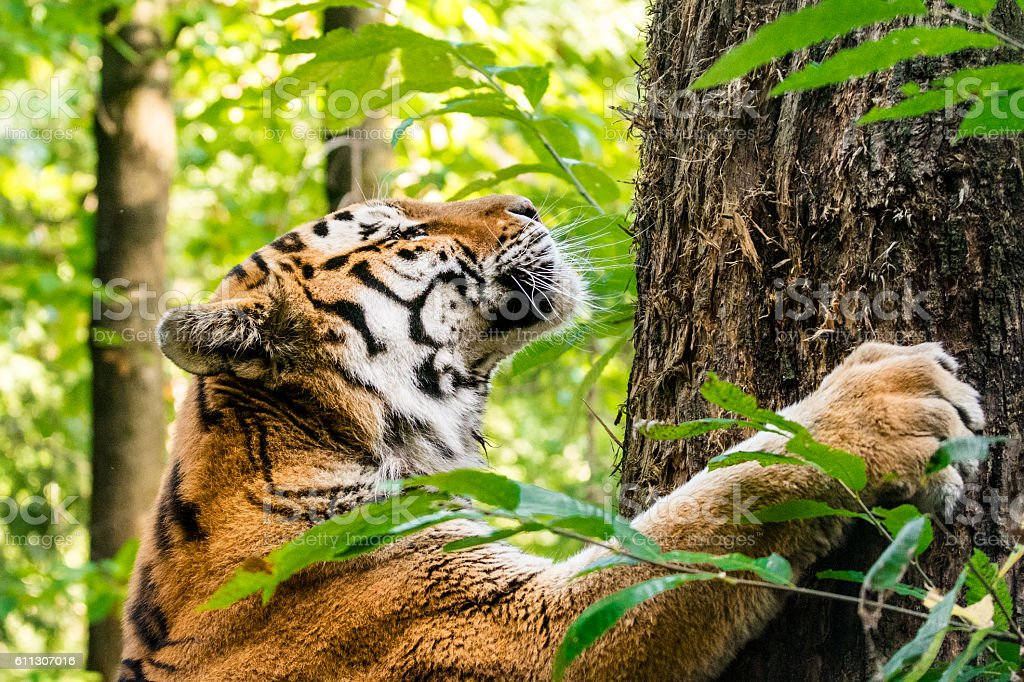 Tiger scratches tree trunk marking territory stock photo
