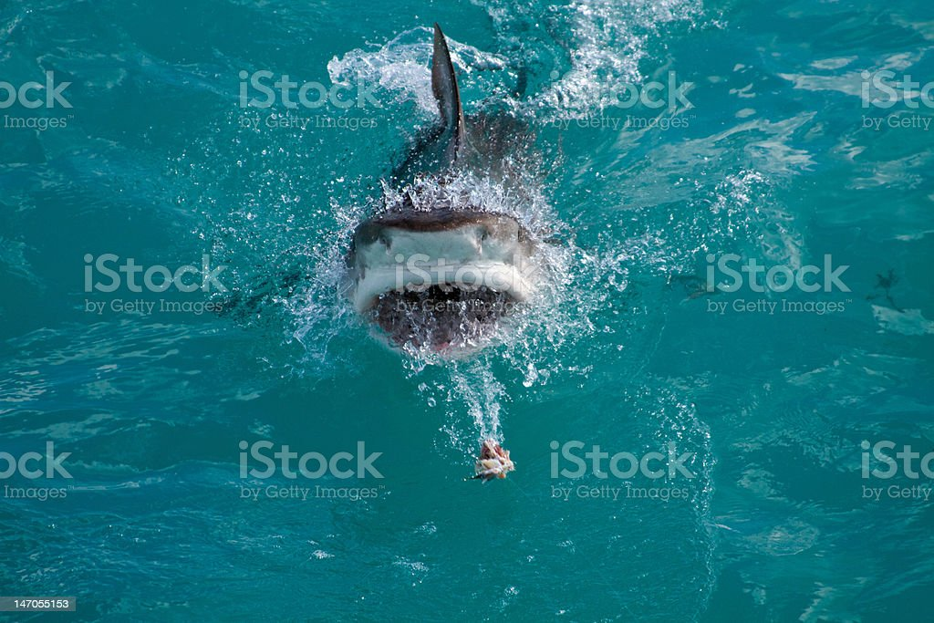 Tiger Shark Breach royalty-free stock photo