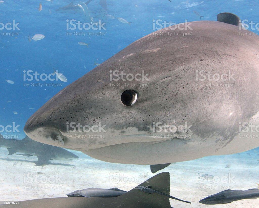 Tiger Shark Close Up royalty-free stock photo