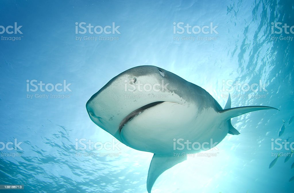 Tiger Shark from Above royalty-free stock photo
