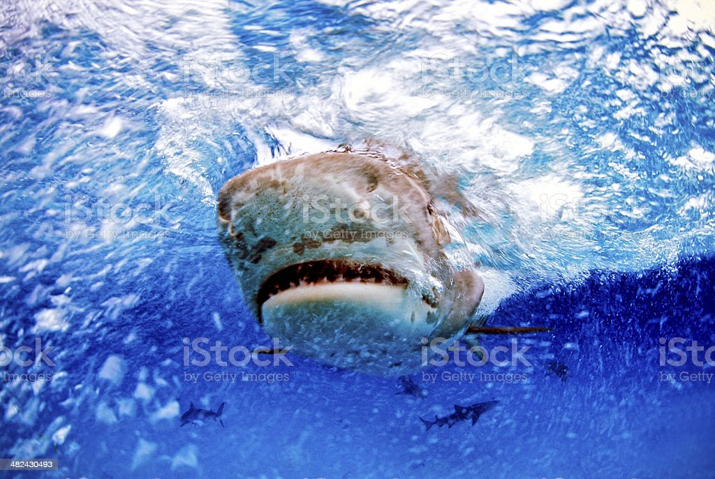 Tiger Shark royalty-free stock photo