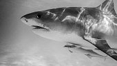 Tiger Shark profile