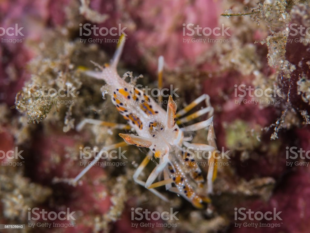 Tiger Shrimp on coral stock photo