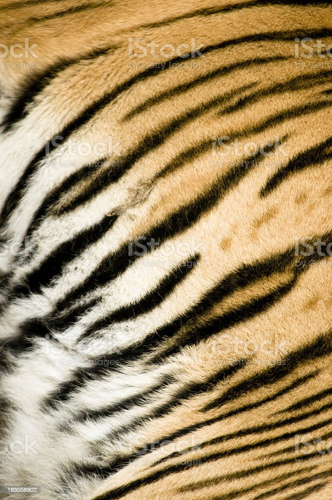 Tiger skin texture (real) stock photo