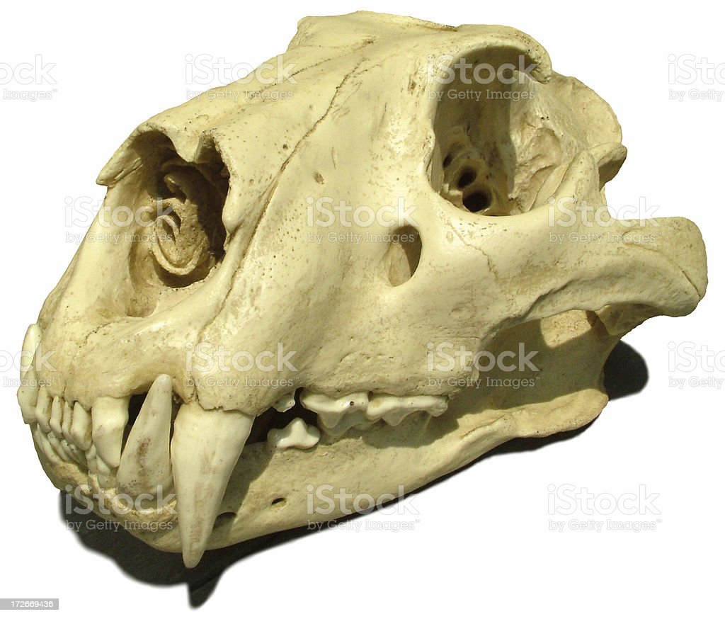 Tiger Skull royalty-free stock photo