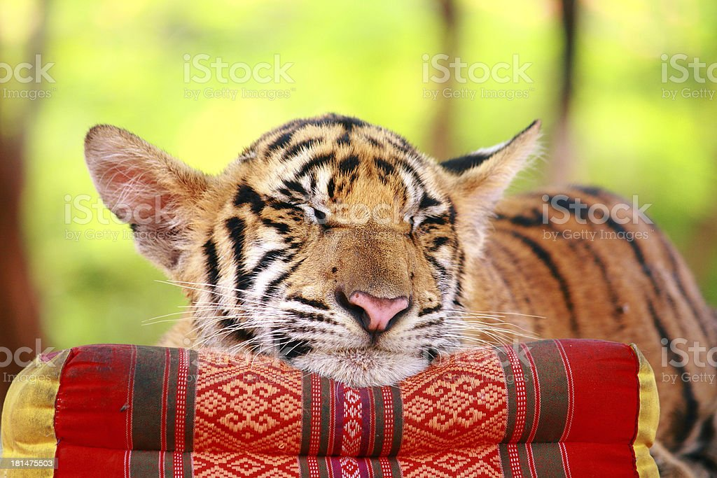Tiger sleep royalty-free stock photo