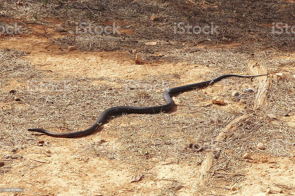 Tiger snake in Australian outback stock photo