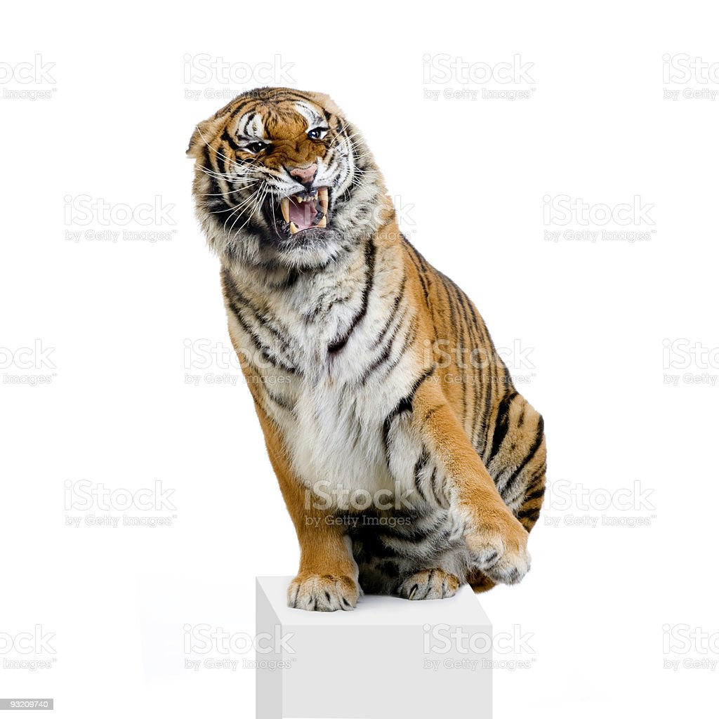 Tiger Snarling stock photo