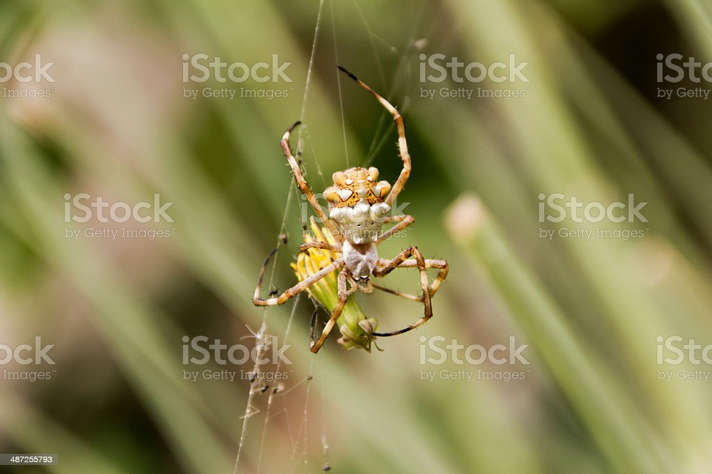 Tiger spider stock photo
