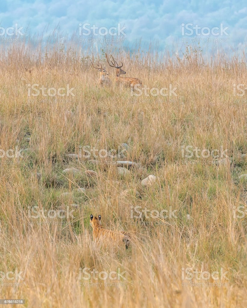 Tiger stalking prey in stealth mode - hunter and hunted in same frame stock photo
