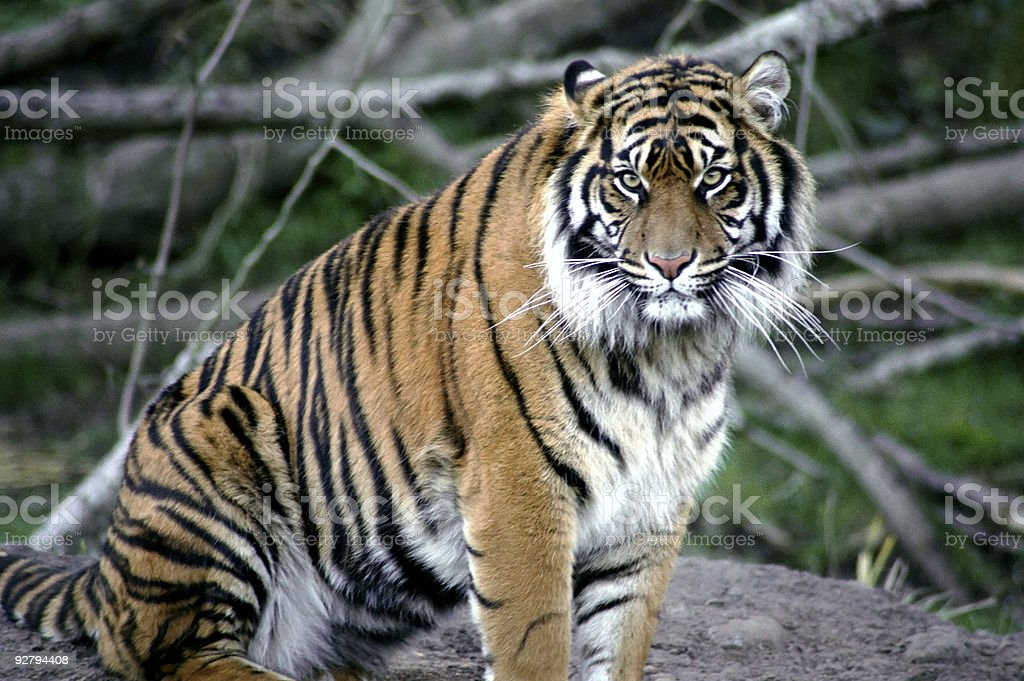 Tiger Stare royalty-free stock photo