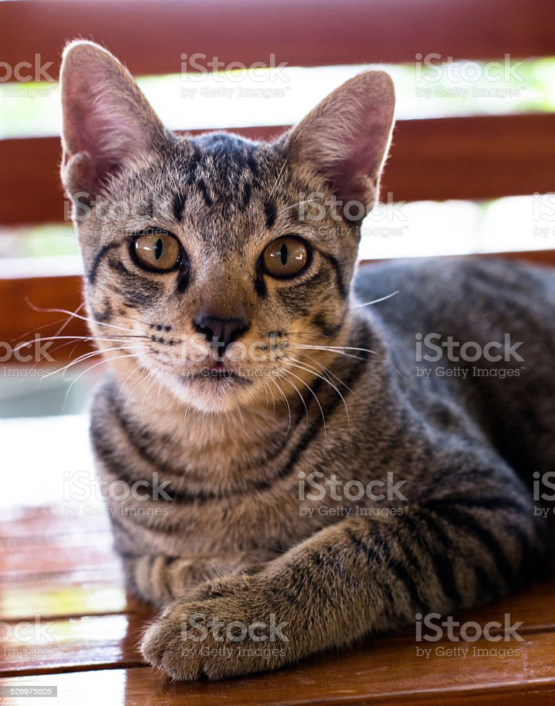 tiger striped cat stock photo