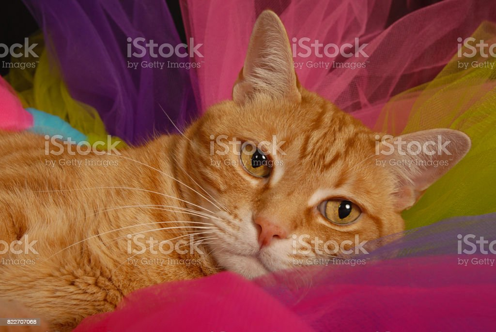 Tiger Striped Cat Resting stock photo