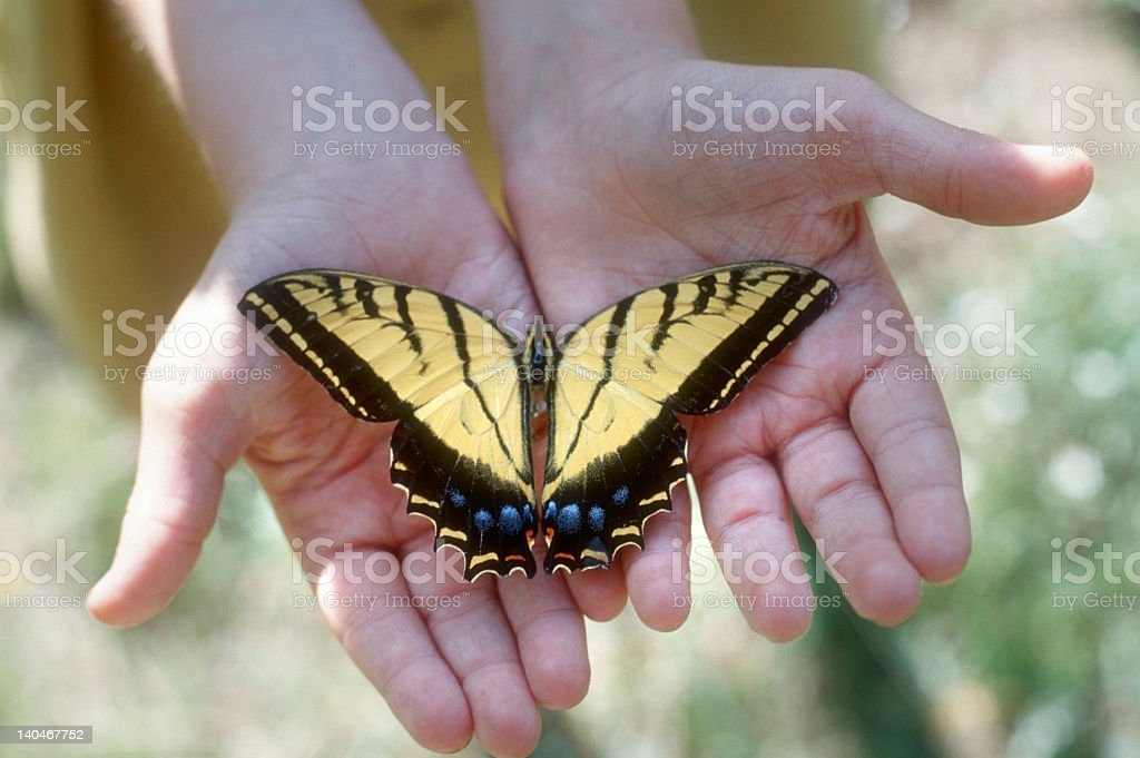 Tiger swallowtail butterfly in a persons hand stock photo