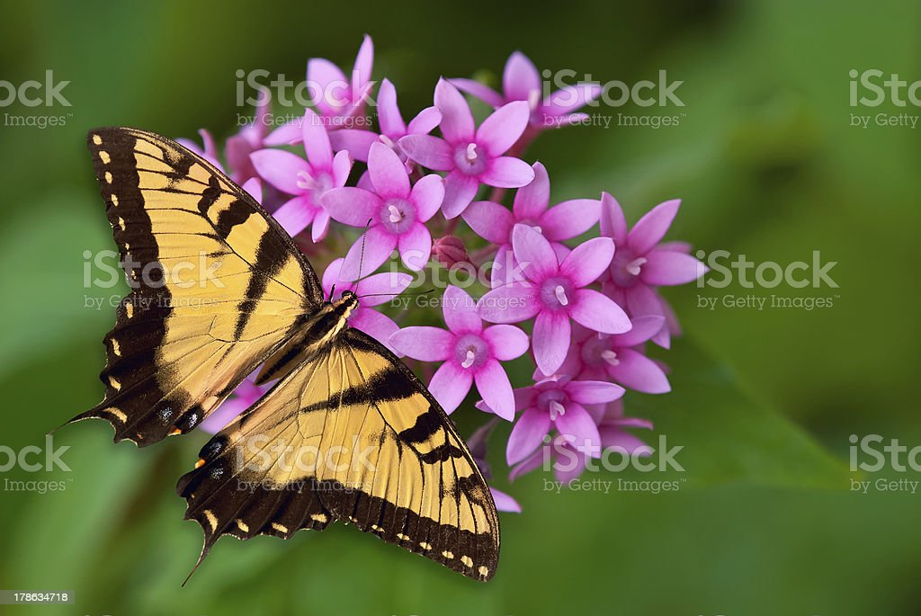 Tiger Swallowtail butterfly on pink flowers royalty-free stock photo