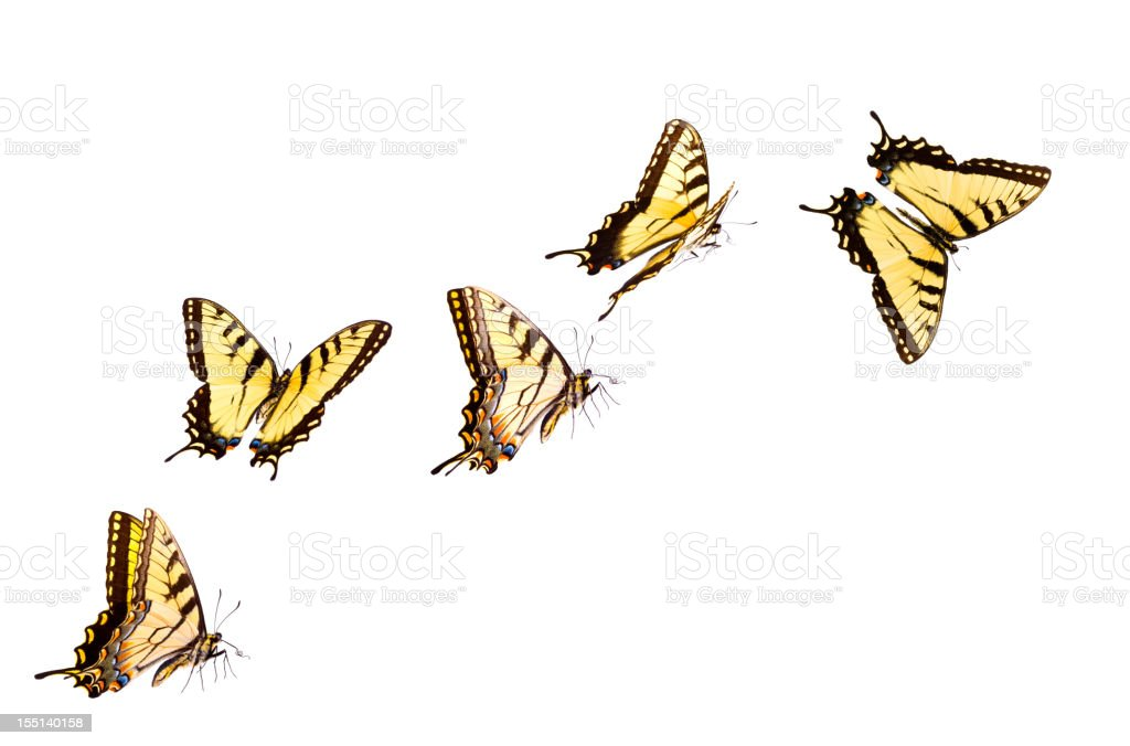 Tiger Swallowtail Butterfly stock photo