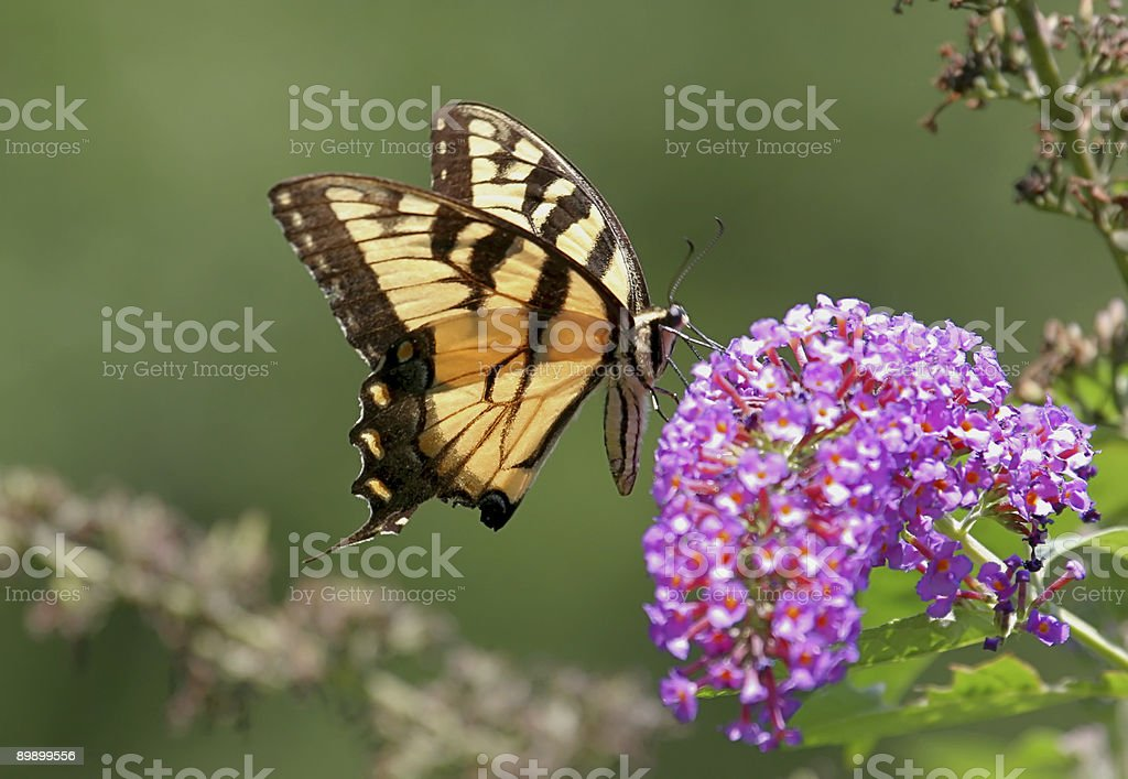 Tiger Swallowtail Butterfly royalty-free stock photo