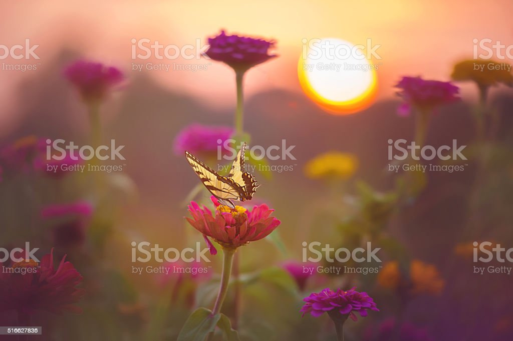 Tiger Swallowtail Butterly on Zinnia stock photo