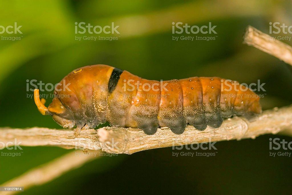 Tiger Swallowtail Caterpillar Stink Tubes stock photo