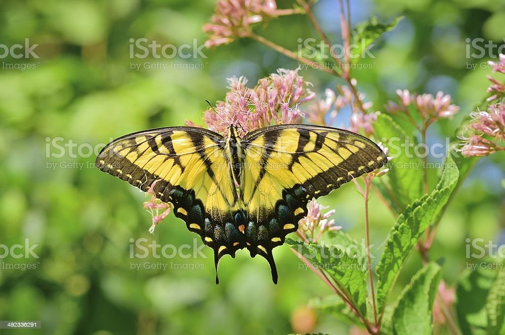 Tiger Swallowtail Feeding stock photo
