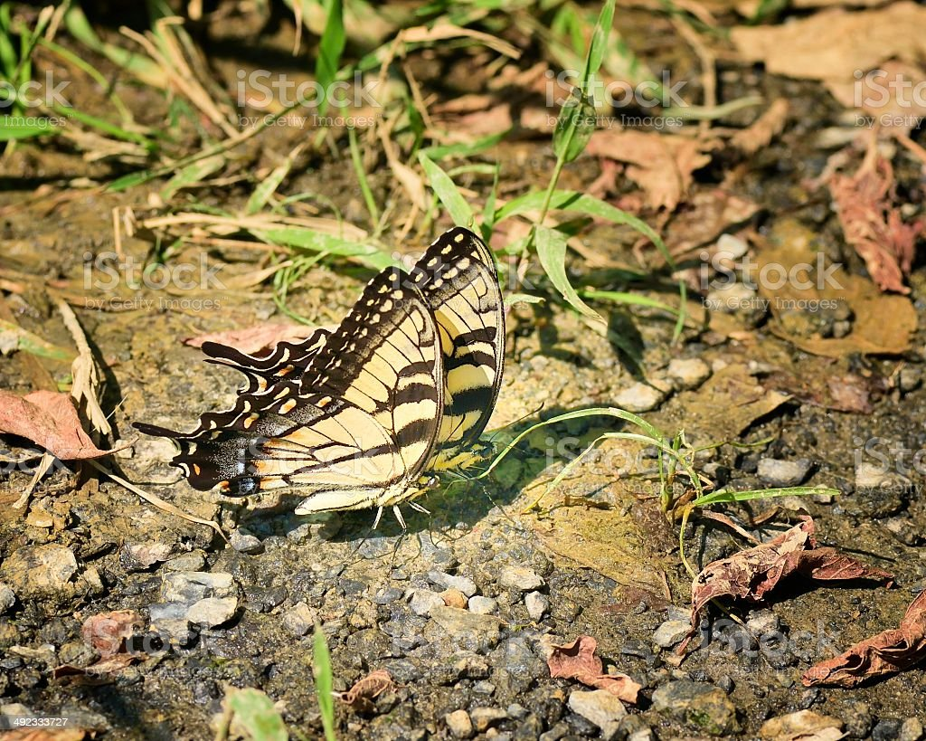 Tiger Swallowtail Pair stock photo