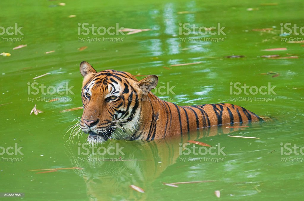 tiger swimming in the wild stock photo
