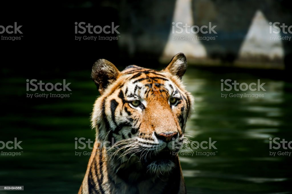 Tiger swimming stock photo