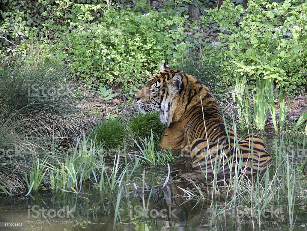 Tiger taking a bath stock photo