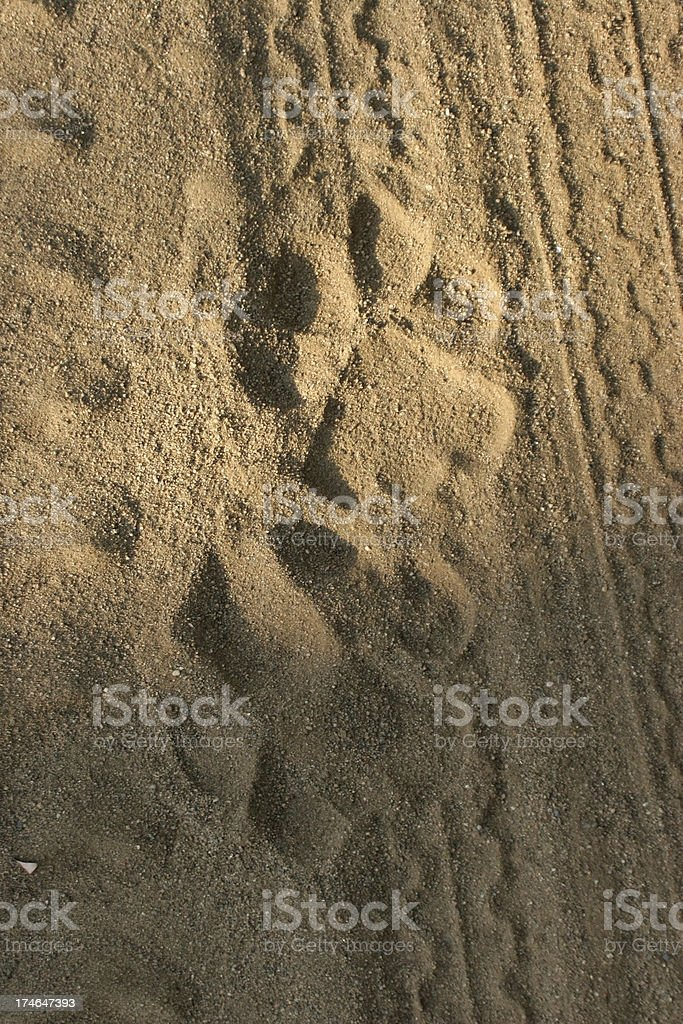'Tiger tracks, India' stock photo