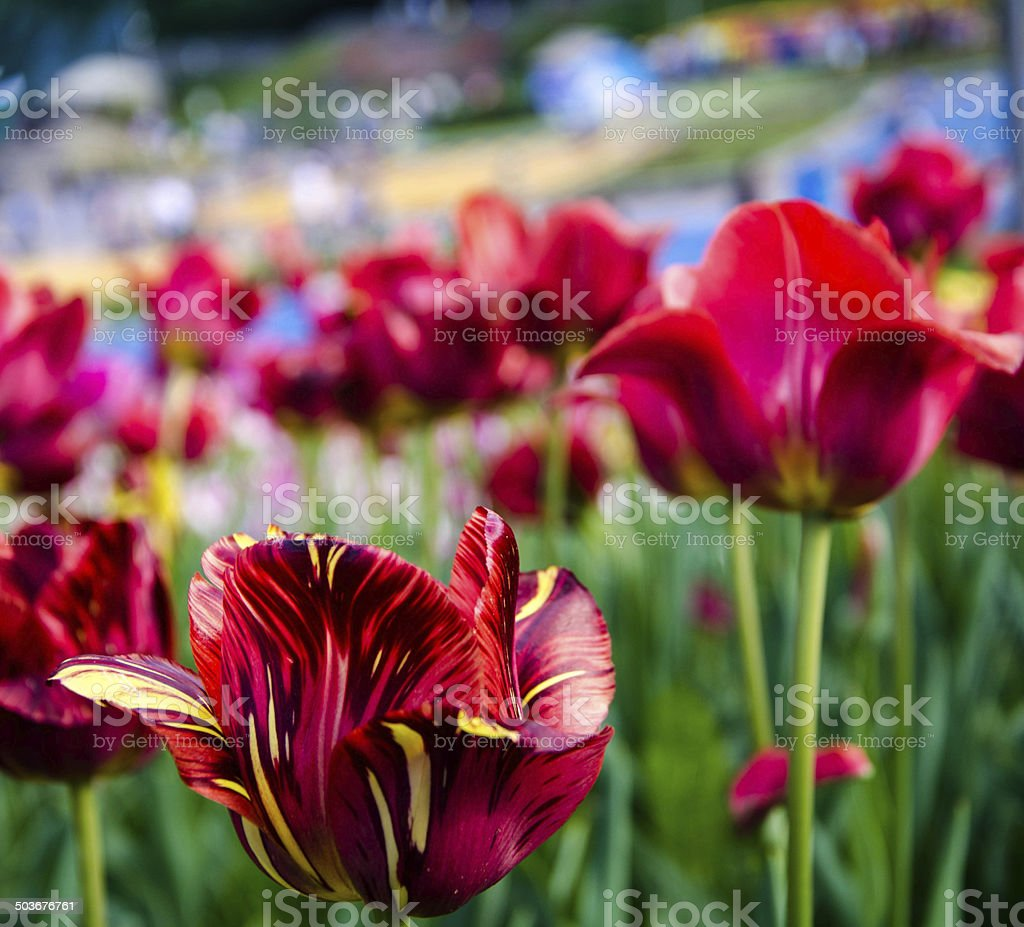 Tiger tulip stock photo