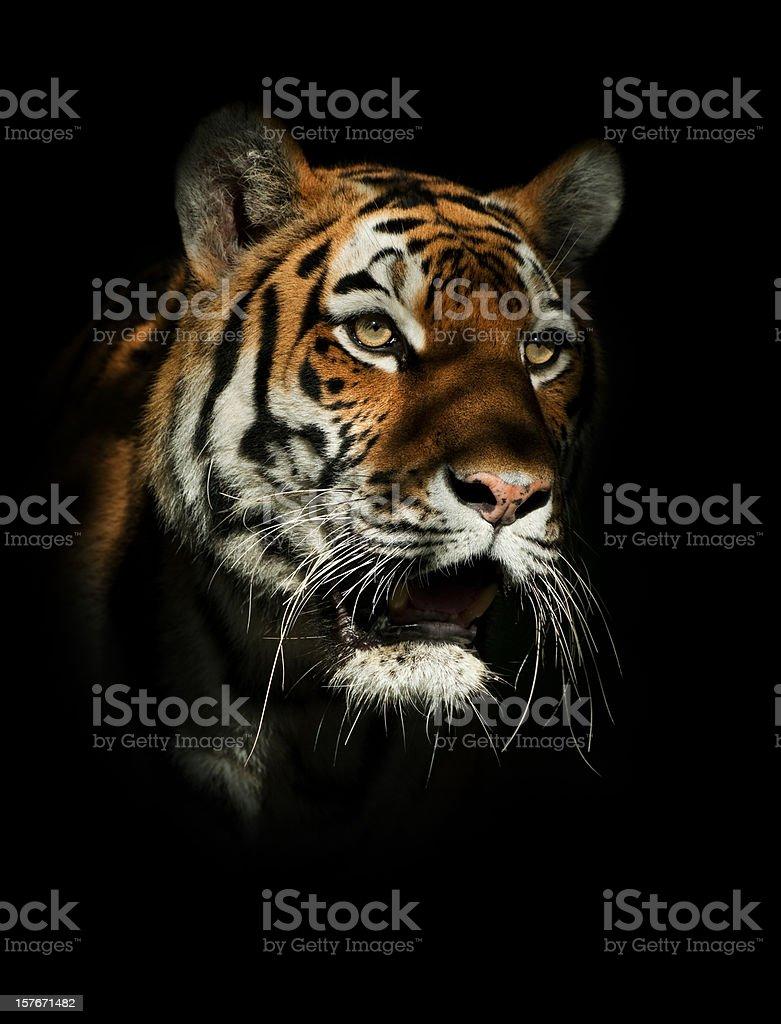 Tiger Twilight stock photo